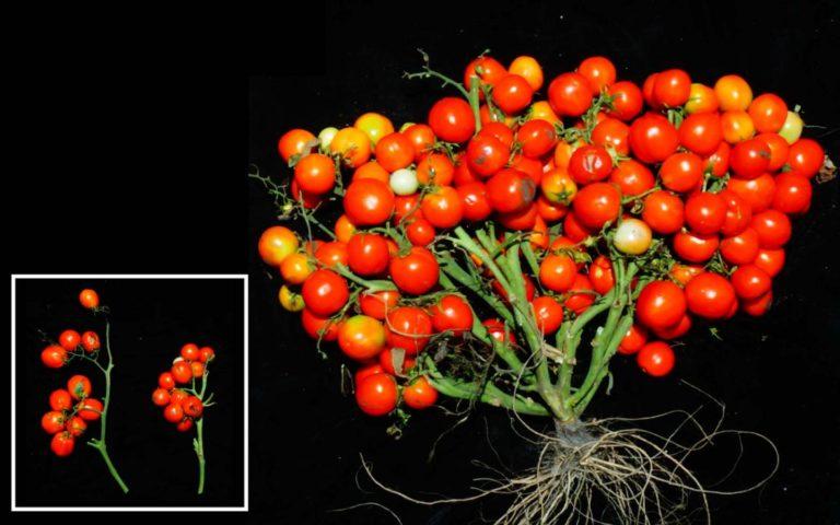 """Tomaatin uusi lajike: """"rypäletomaatti"""" kehitettiin geeniteknologialla ja se vaati jopa kolmen eri geenin peukaloimista."""