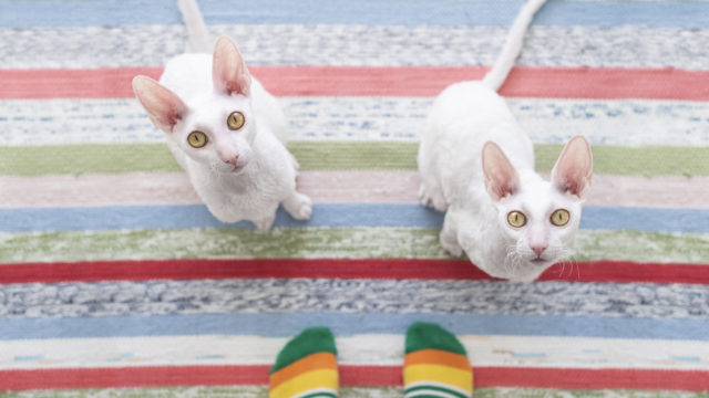 Miten kuvata valkoiset kissat aina uudella tavalla? Sitä Issakaiset miettivät paljon, kun he tuottavat sisältöä cornish rex -veljesten instatilille.