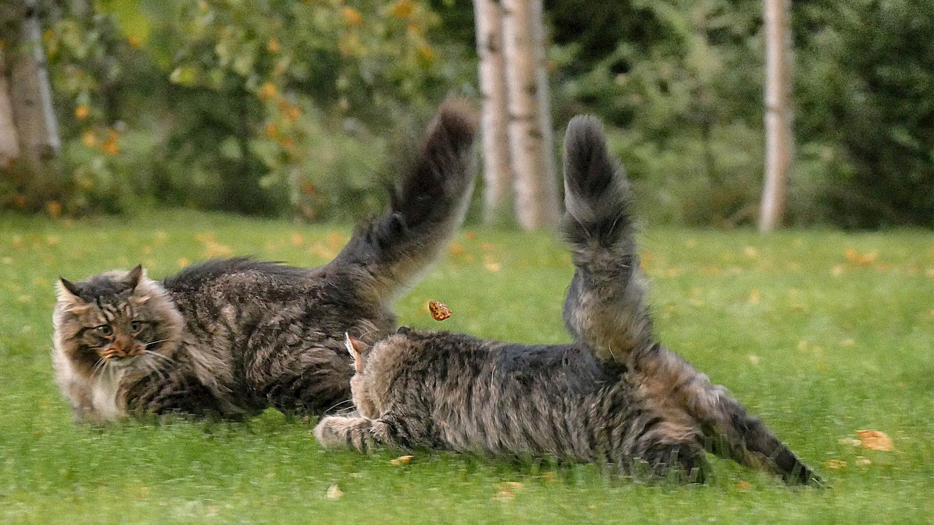 Sämpy-kissa ja pikkuveli Hiski.