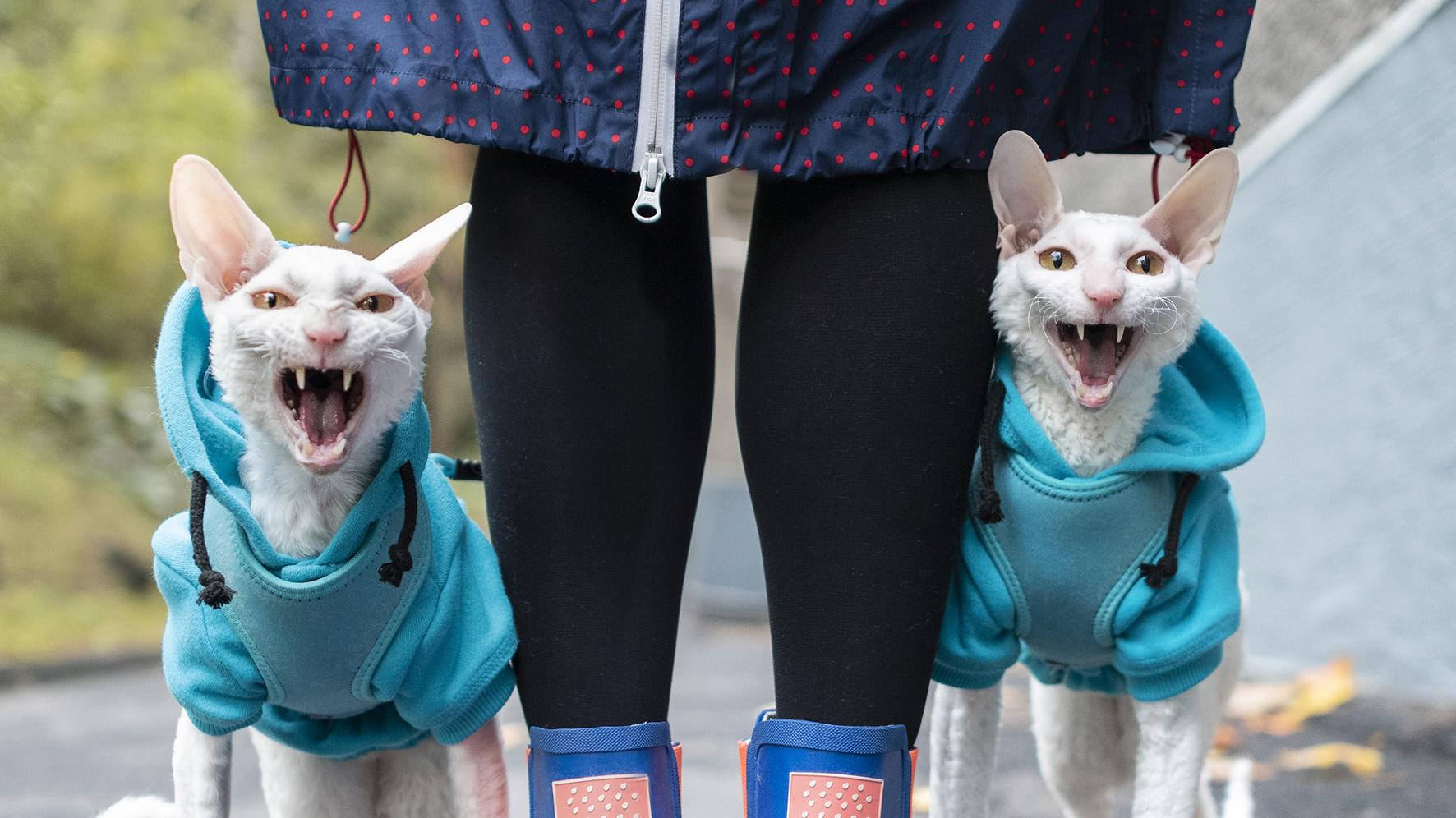 Mäyrä-Kaarloa ja Mauno Muikkusta seuraa Instagramissa 29 000 ihmistä. Kissat rakastavat hihnassa ulkoilua.