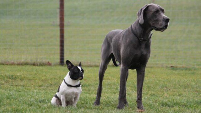Koirat voivat jäädä lyhytikäisiksi perinnöllisten sairauksien vuoksi.