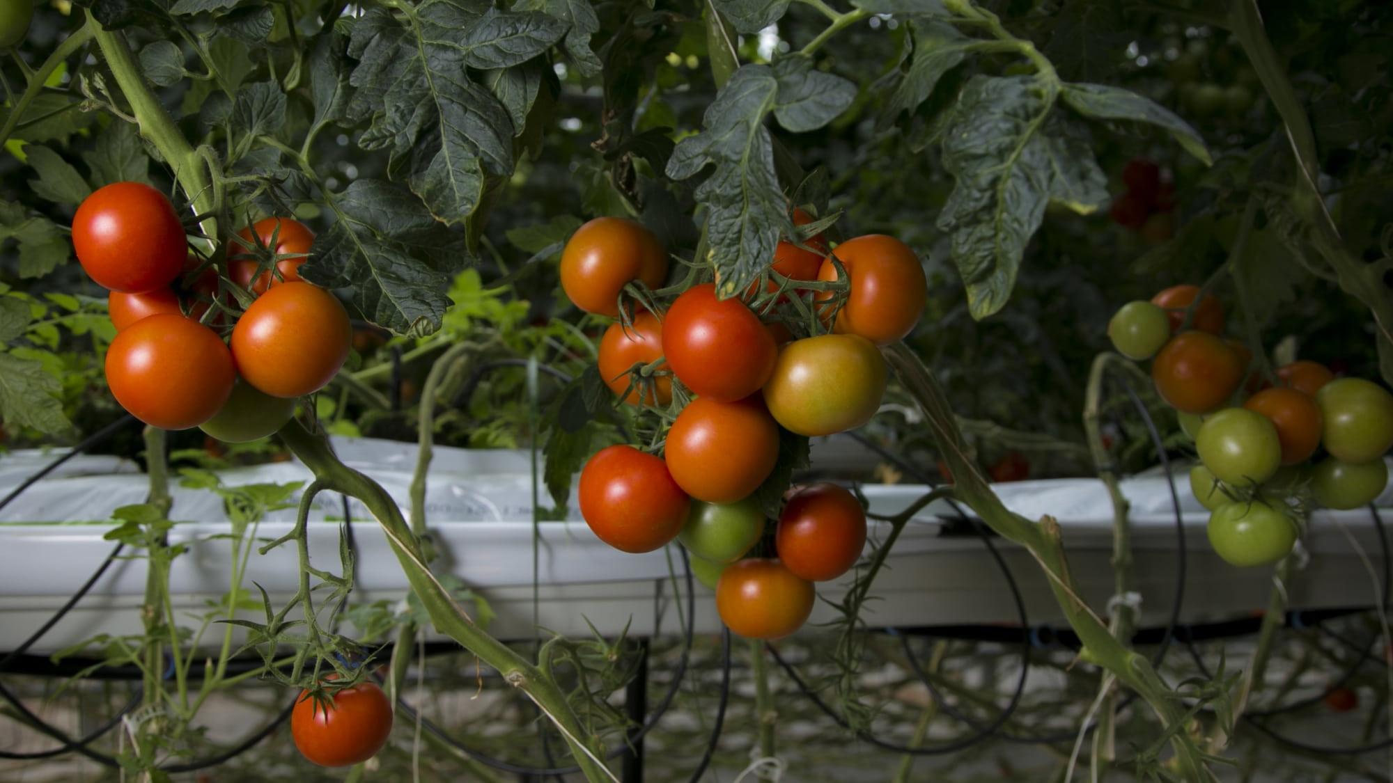Pyöreässä tomaatissa on paljon lykopeeniä, joka suojaa syövältä sekä sydän- ja verisuonitaudeilta. Kuva on Härkälän puutarhalta.