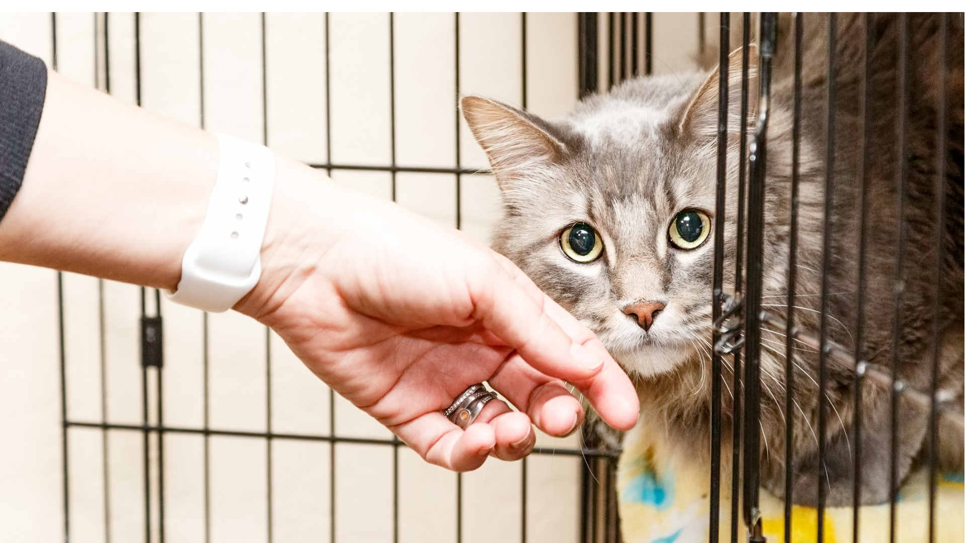 Aikuinen kissa on hyvä valinta lemmikiksi, koska sen luonne on jo tiedossa.