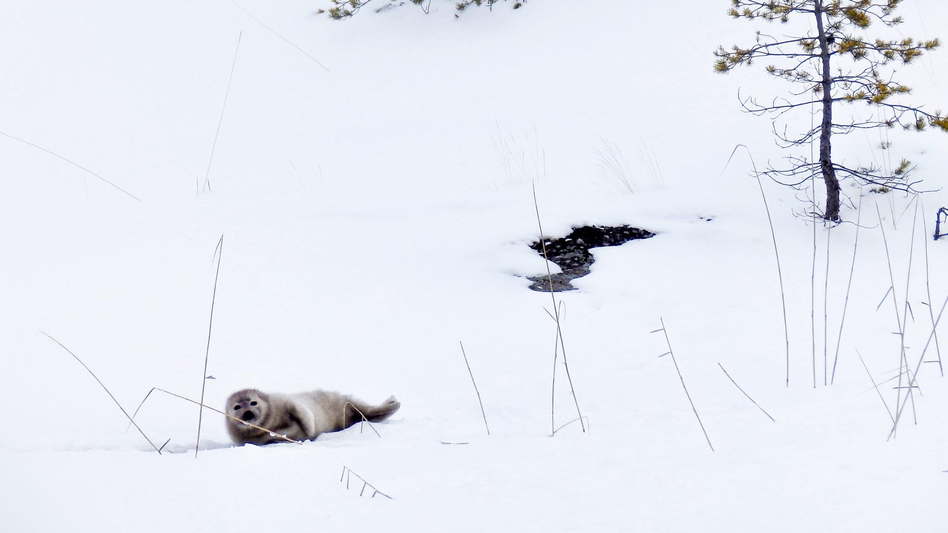 Kuutti liikkuu avantonsa ympäristössä kymmeniä metrejä päivässä. Kuva maaliskuulta 2016.