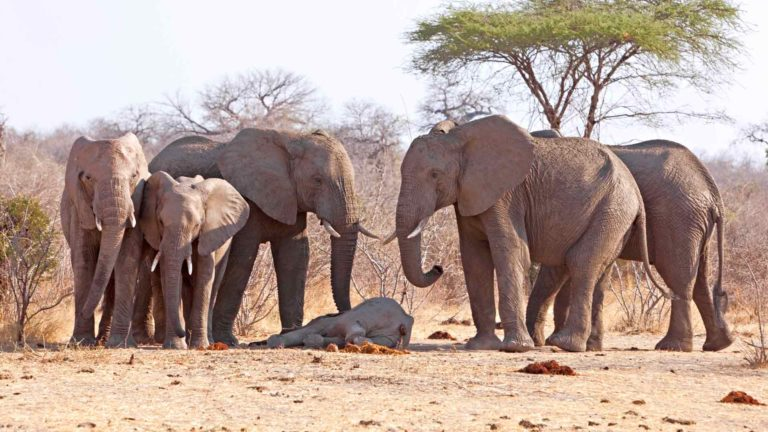 Sukulaisuus ei vaikuttanut siihen miten kiinnostuneita norsut olivat vainajista.