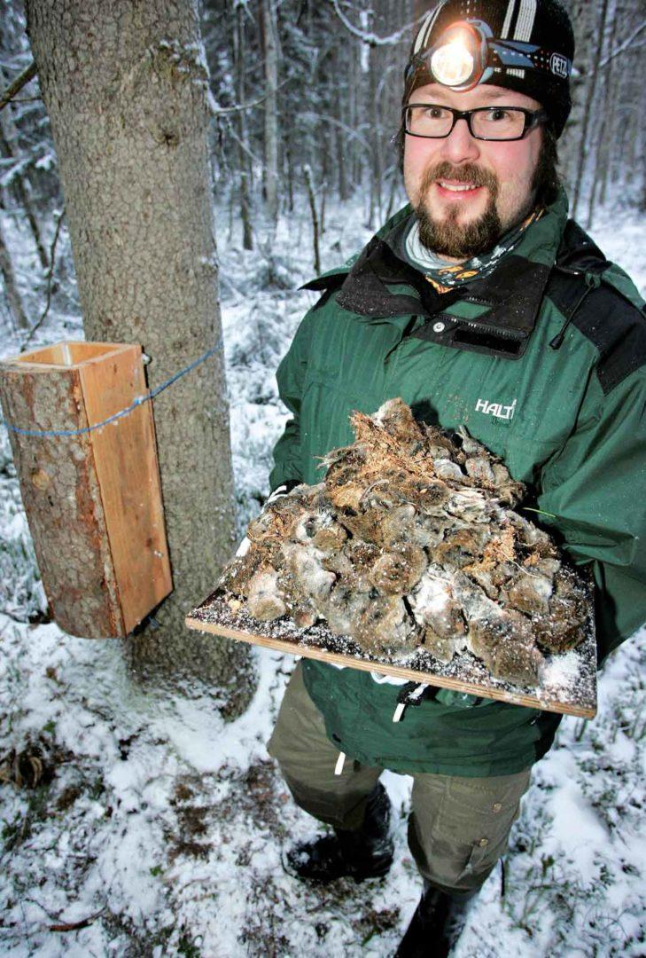 Otso Huitu esittelee varpuspöllön pönttöönsä keräämää myyrävarastoa.