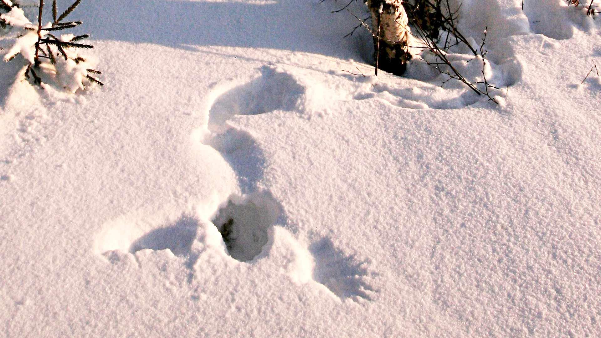 Kanalinnut eivät etsi lumikieppiä jalkapatikalla, vaan pudottautuvat umpisukkeluksiin suoraan lennosta.