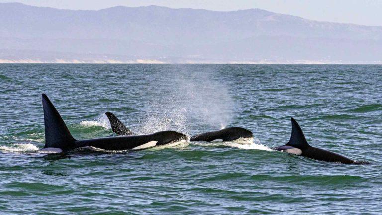 Kun valaat vaeltavat lämpimään veteen, nahan verenkierto elpyy ja ne voivat luoda sen.