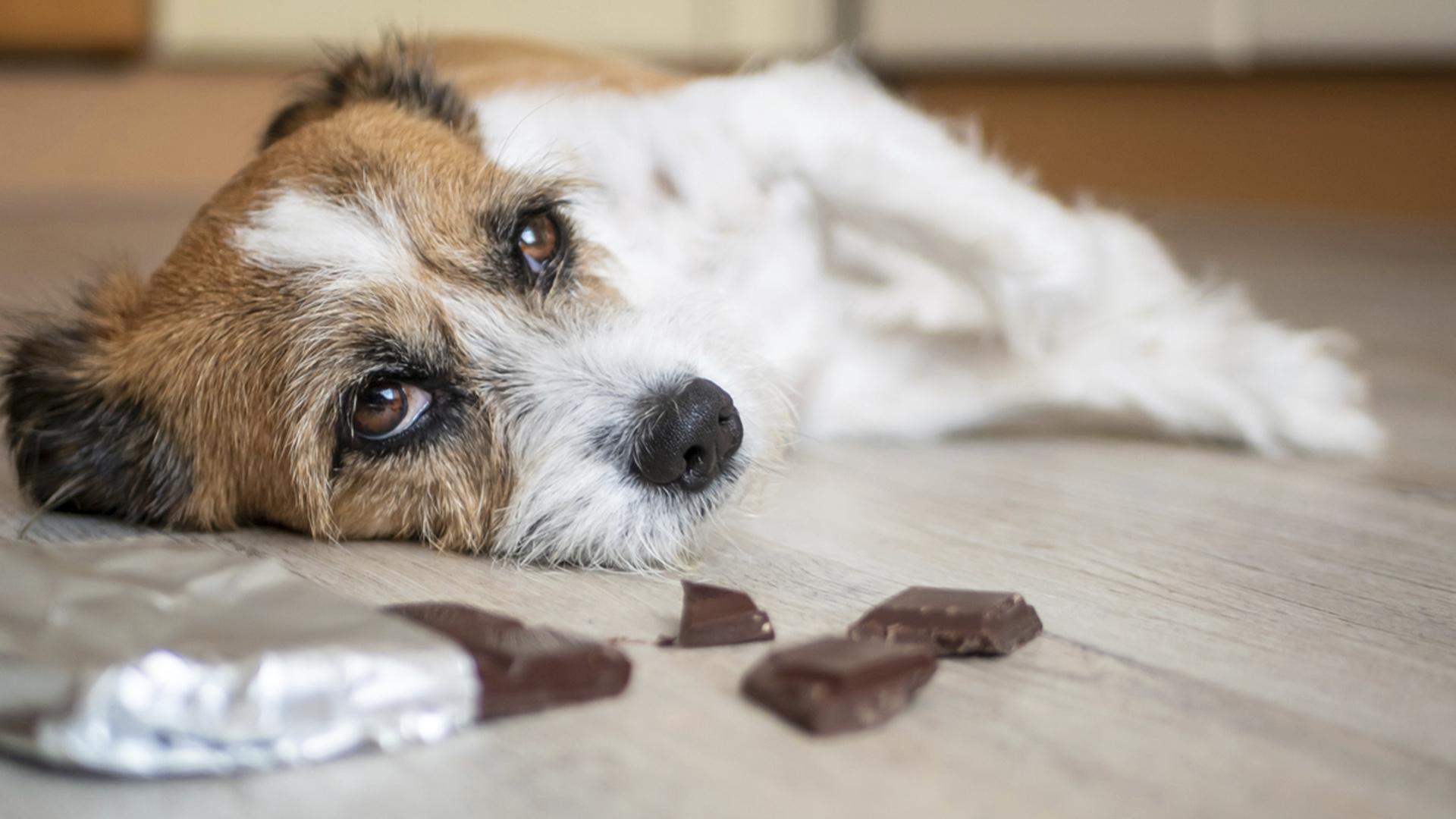 Jos koira on syönyt suklaata, kannattaa ottaa yhteyttä eläinlääkäriin.