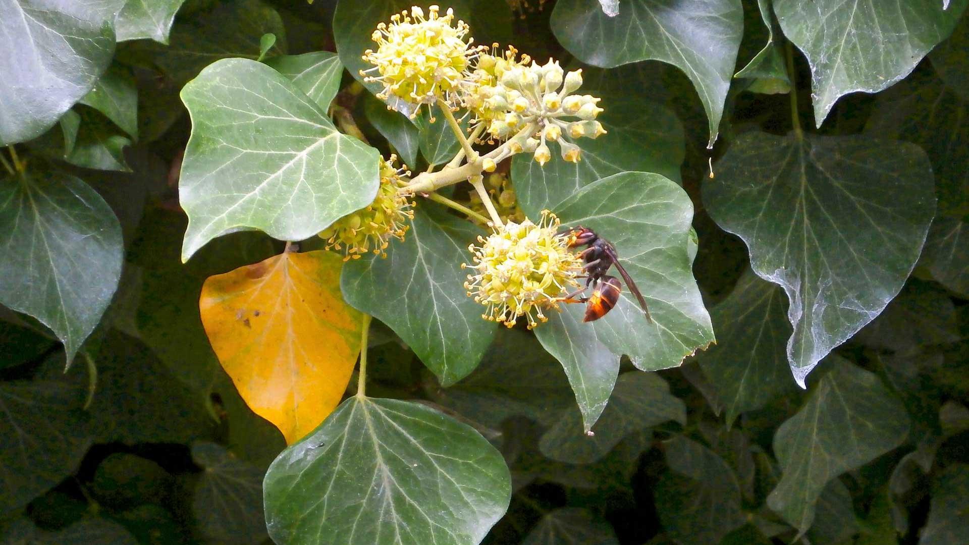 Aasianherhiläinen on syynissä. Lajia koetetaan kontrolloida tuhoamalla sen pesiä, mistä niitä vain löydetään.