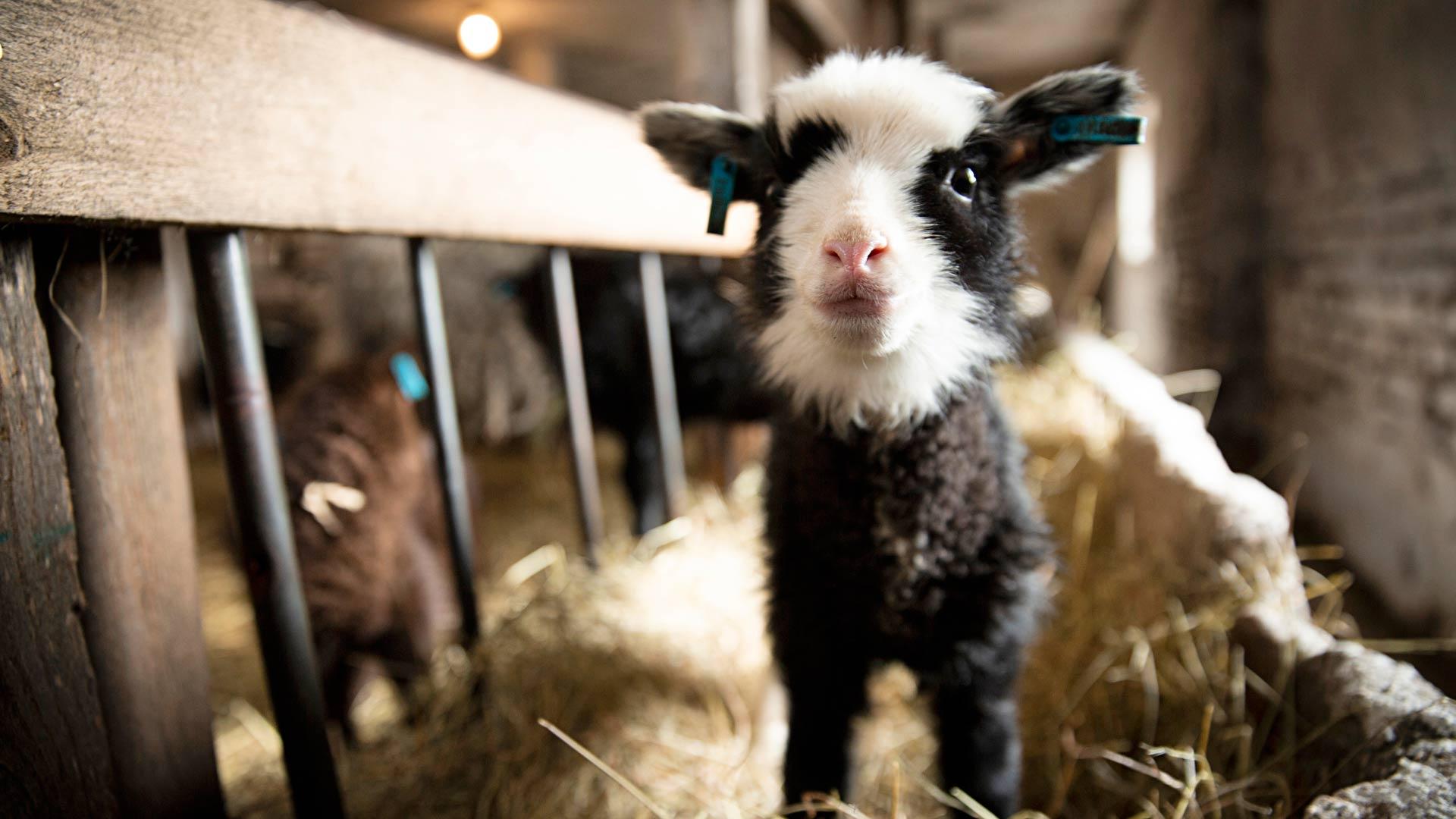 Kainuunharmas on lammasrotuna eloisa ja sosiaalinen. Ihmisten ahkerasti käsittelemät karitsat ovat luottavaisia ja tulevat mielellään nuuhkimaan.