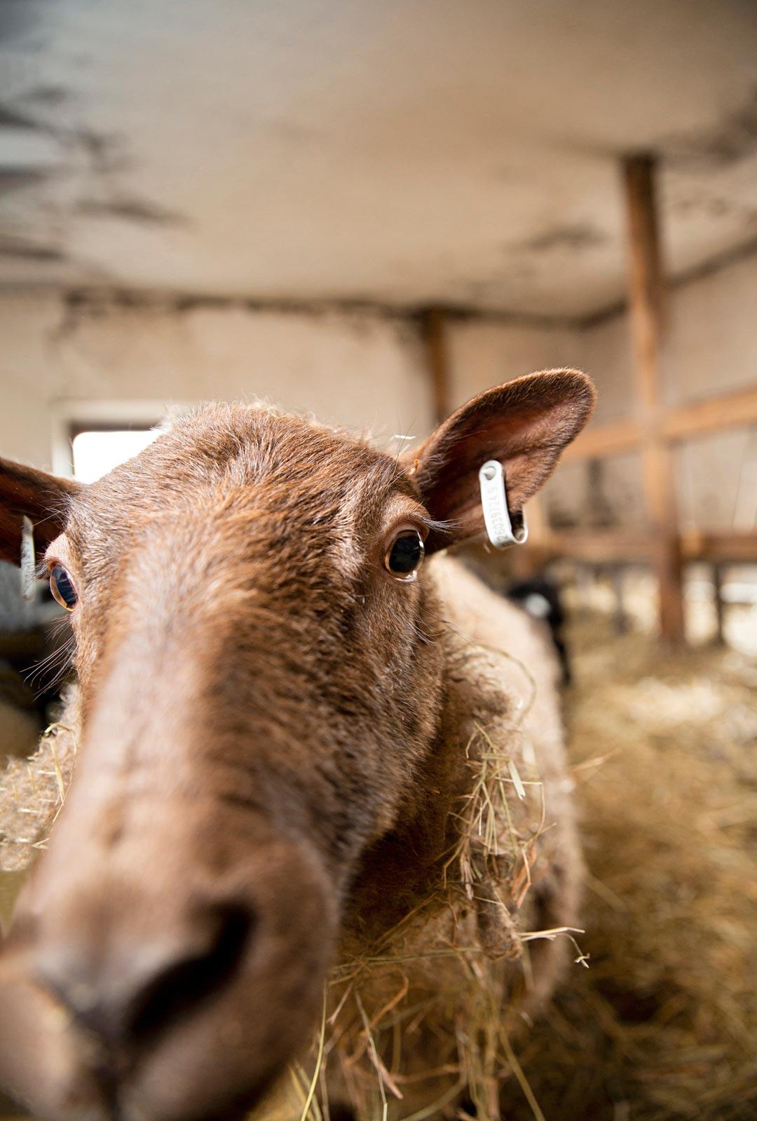 Cupido-uuhi on yksi lammaskatraan sosiaalisimmista. Se tulee takuuvarmasti tervehtimään.