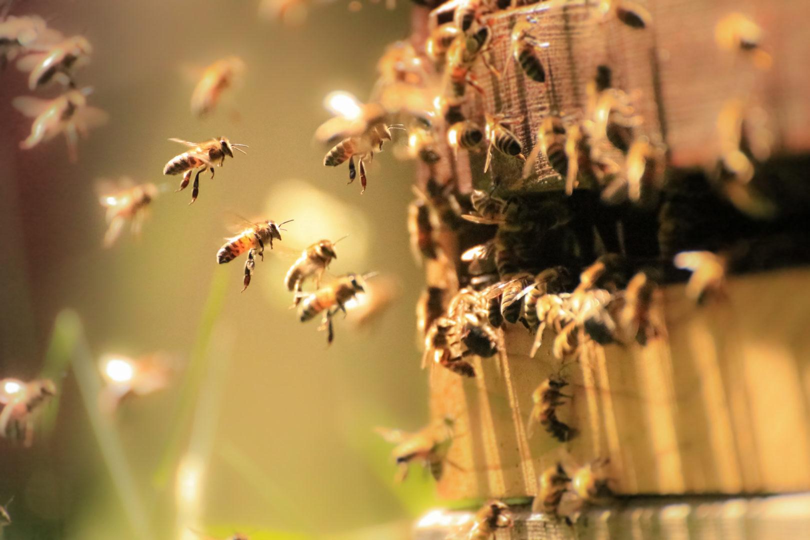 Hunaja houkuttaa mehiläisiä