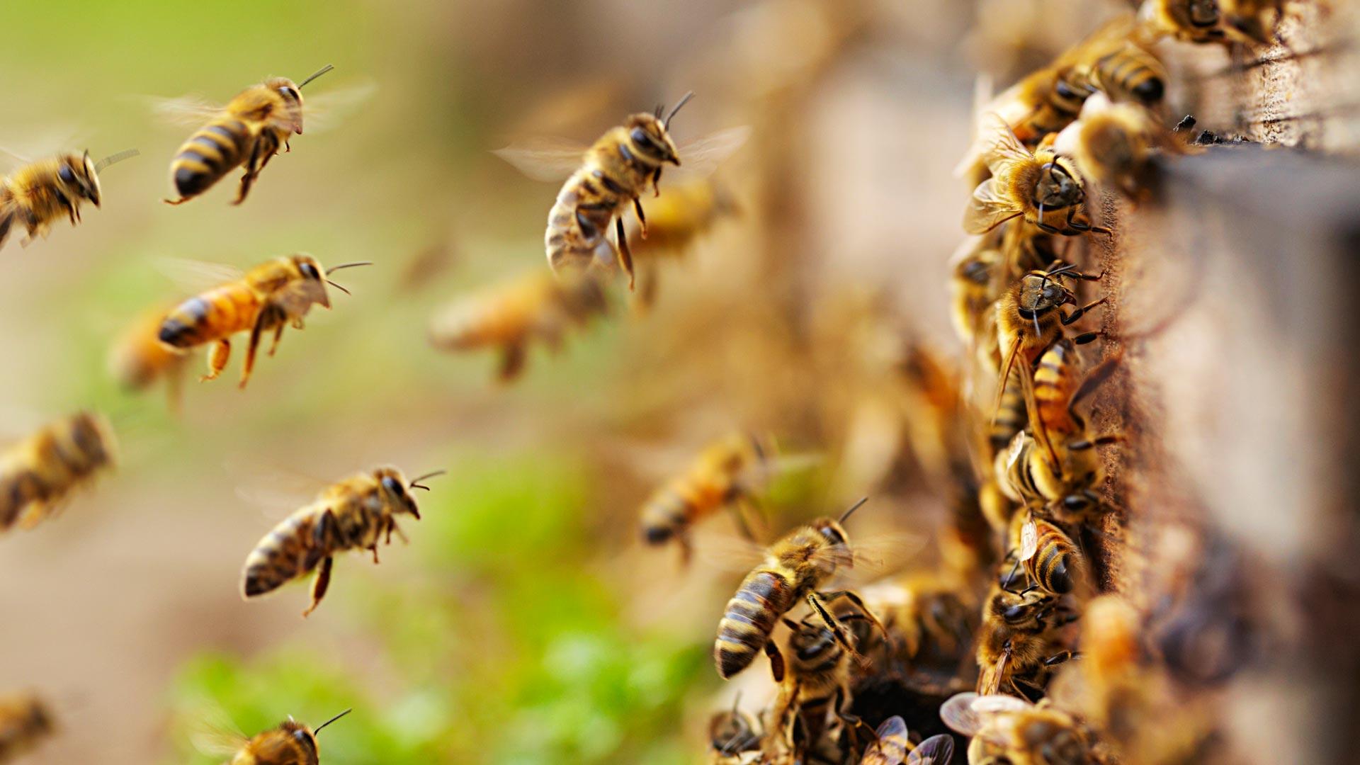 Tuore kiinalaistutkimus on löytänyt mehiläisiltä uudenlaisen manalasignaalin.