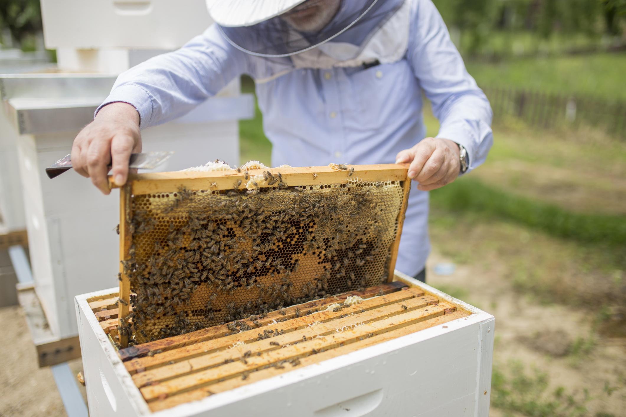 Mehiläishoitaja työssään