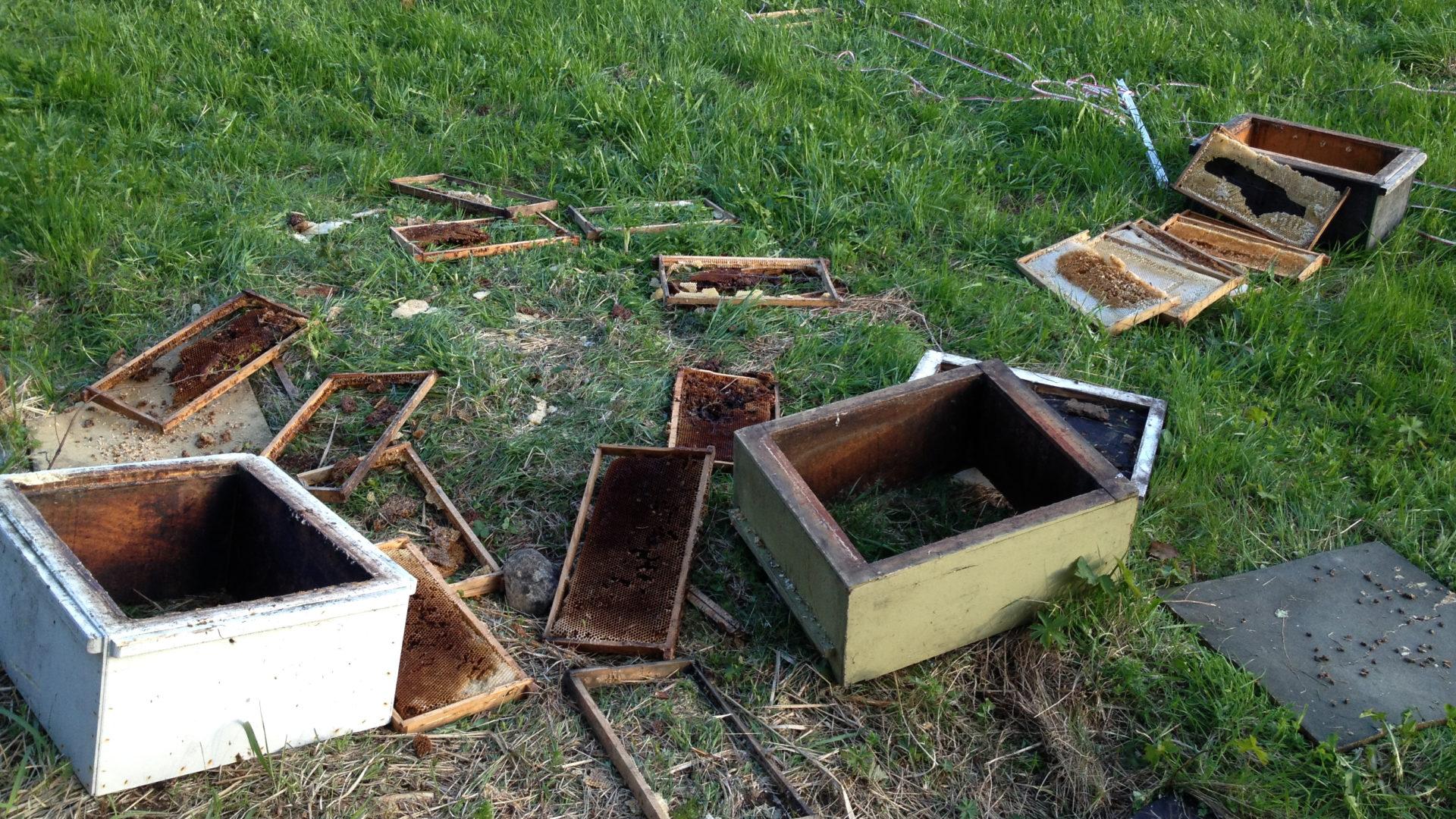 Karhut aiheuttavat tuhoa mehiläistarhoilla