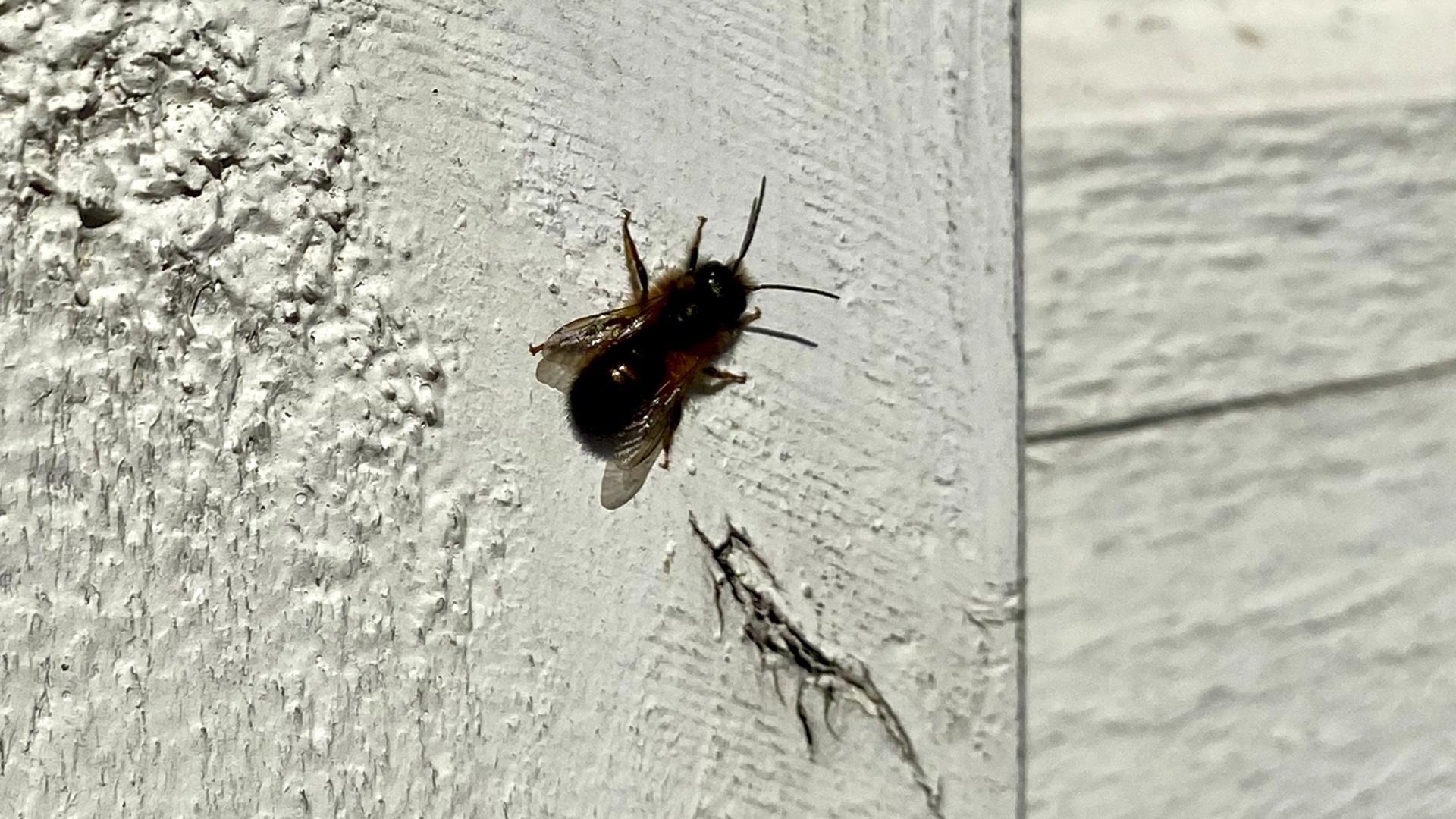 Rusomuurarimehiläinen alkaa olla tuttu näky jo eteläisimmässä Suomessa.