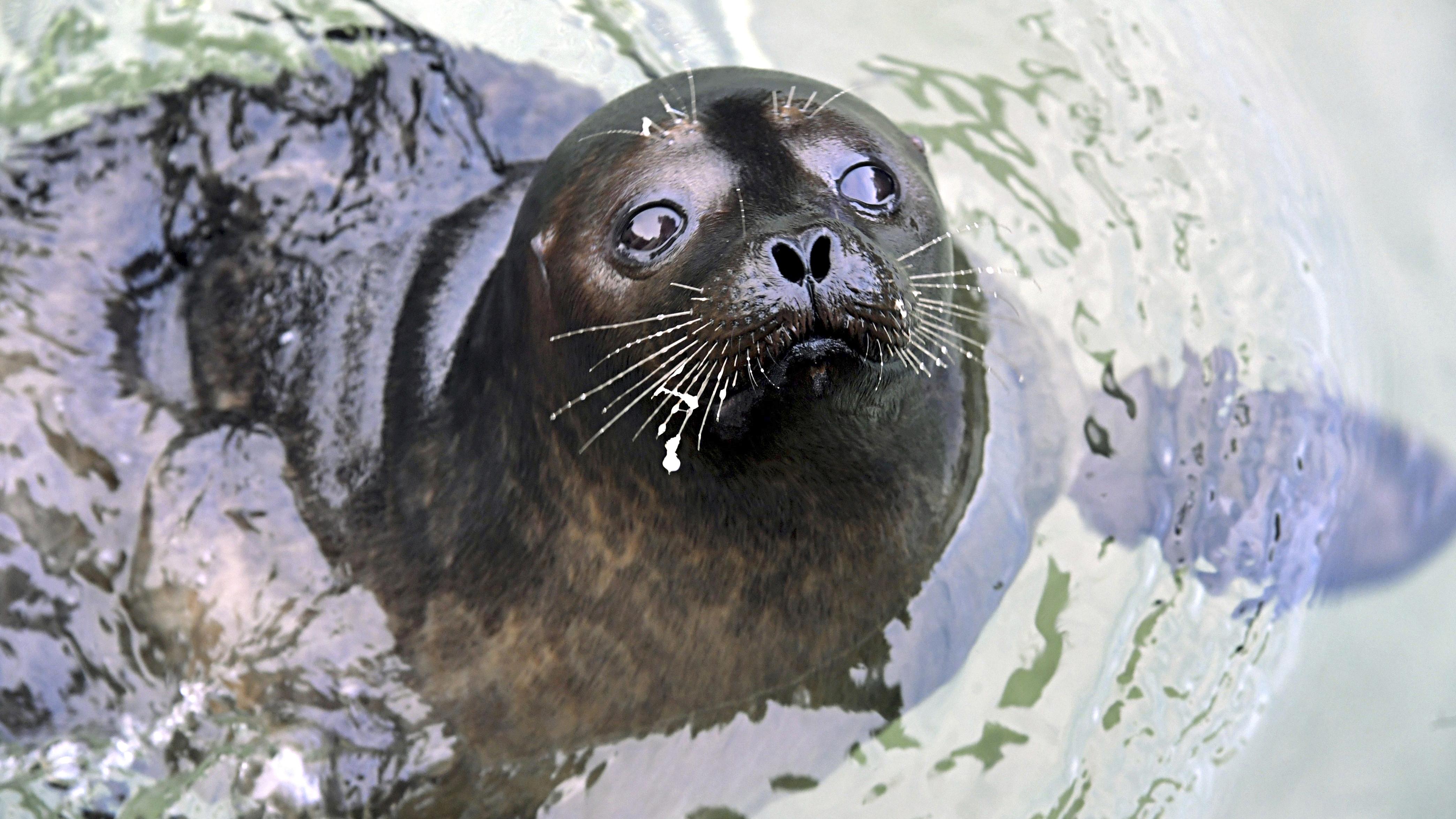 Norppalive on koukuttavaa seurattavaa. Saimaannorppa on yhä erittäin uhanalainen laji. Viime vuonna saimaannorppia oli noin 410.