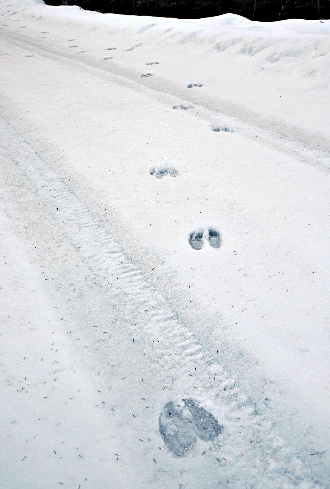 Hirvi jättää selvät jäljet. Luonnonvarakeskus arvioi Suomen hirvimääräksi 85000–90000 eläintä.