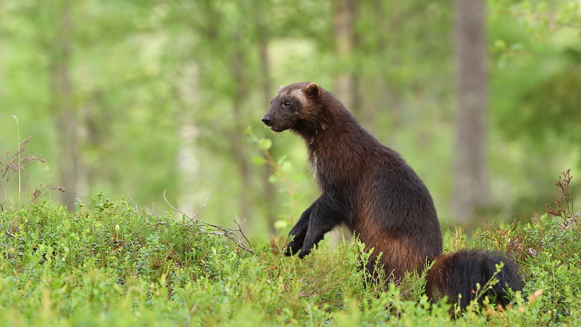 Riistakeskuksen suurpetuyhdyshenkilölle voi ilmoittaa myös havainnot ahmoista, susista ja karhuista.