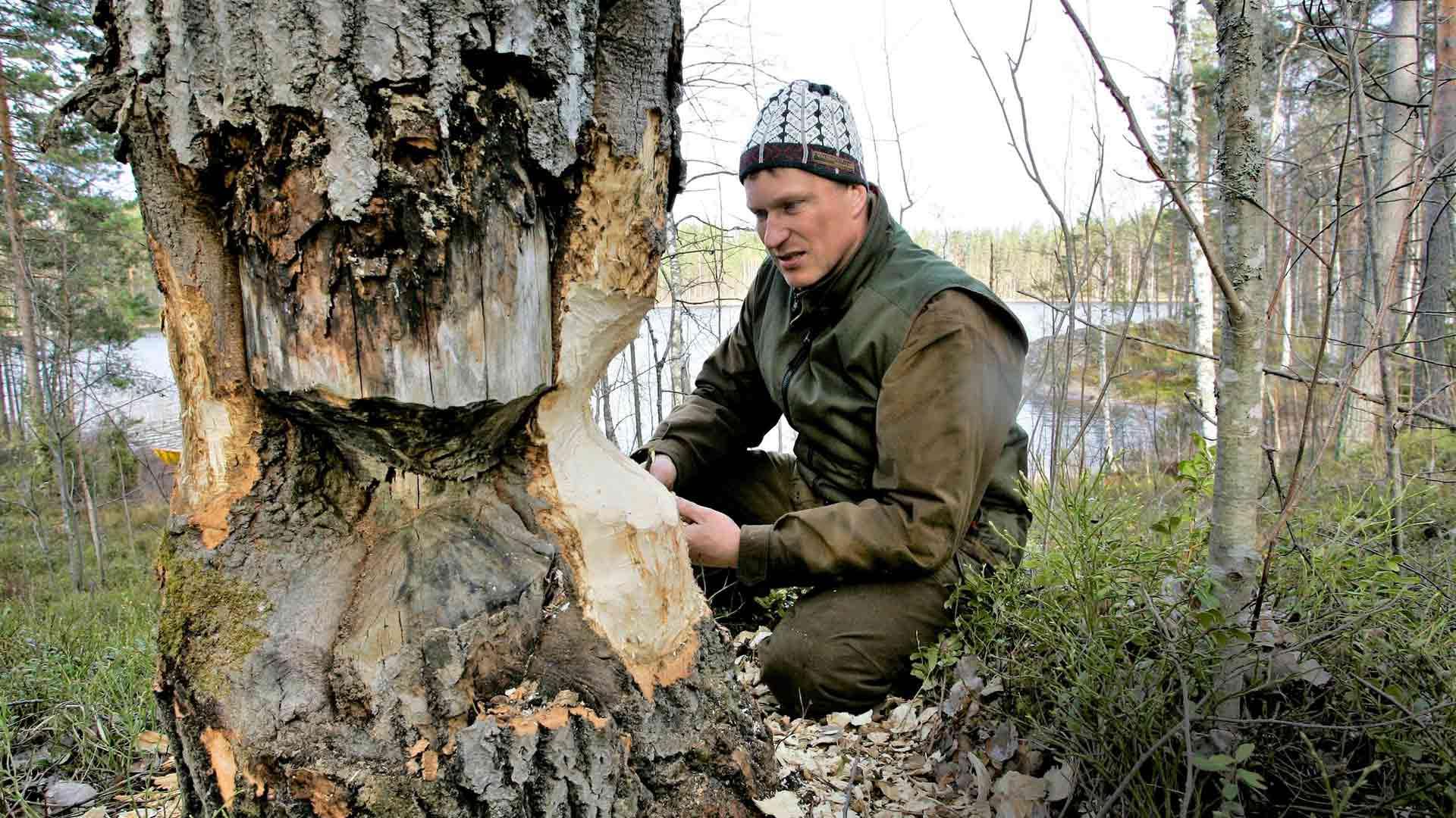 Kari Kokkonen esittelee hyvänkokoisen haavan, jonka majava on lähes onnistunut jo kaatamaan.