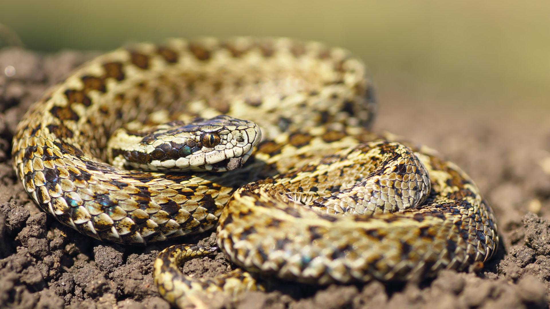 Kyykäärme välttelee ihmistä.