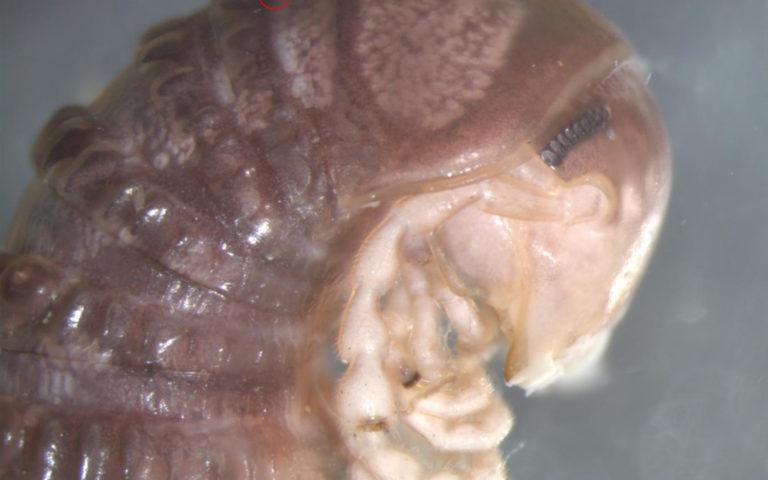 Uusi laji sai tutkijoilta nimen Troglomyces twitteri.