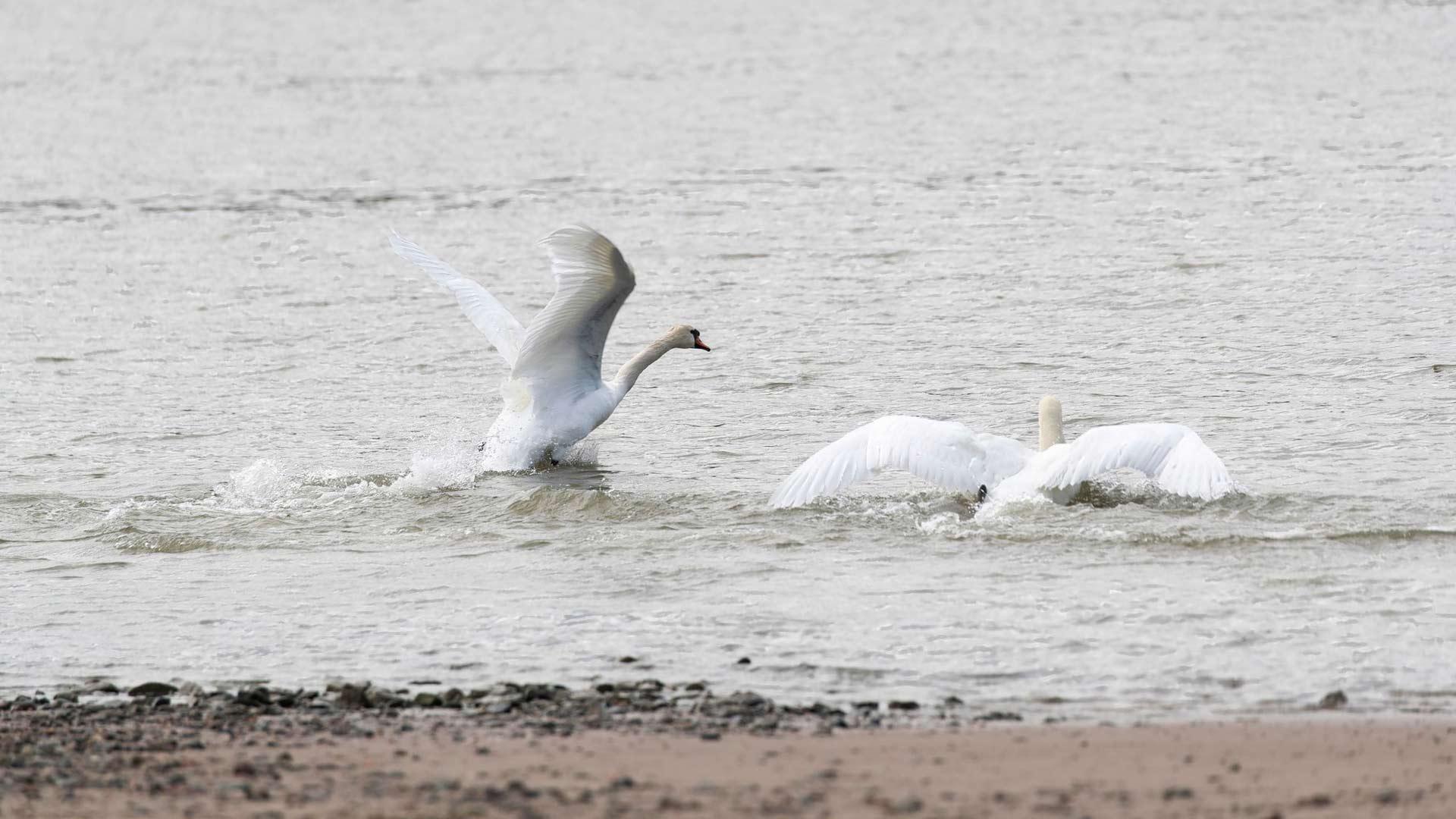 Itämeren rannikolla pesii useita lintulajeja. Tanskassa kyhmyjoutsenten on nähty käyttävän muovia pesänrakennukseen.