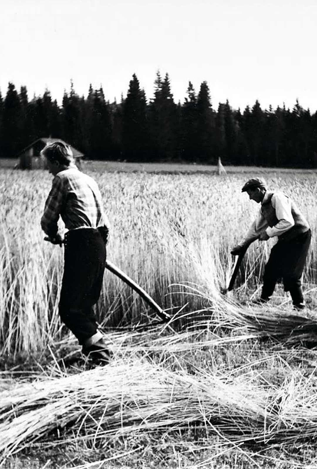 """Veli niittää viljaa isänsä kanssa perheen tilalla 1960-luvulla. """"Vaikka emme koskaan puhuneet asiasta, uskon hänen tienneen suuntautumisestani ja hyväksyneen sen."""""""