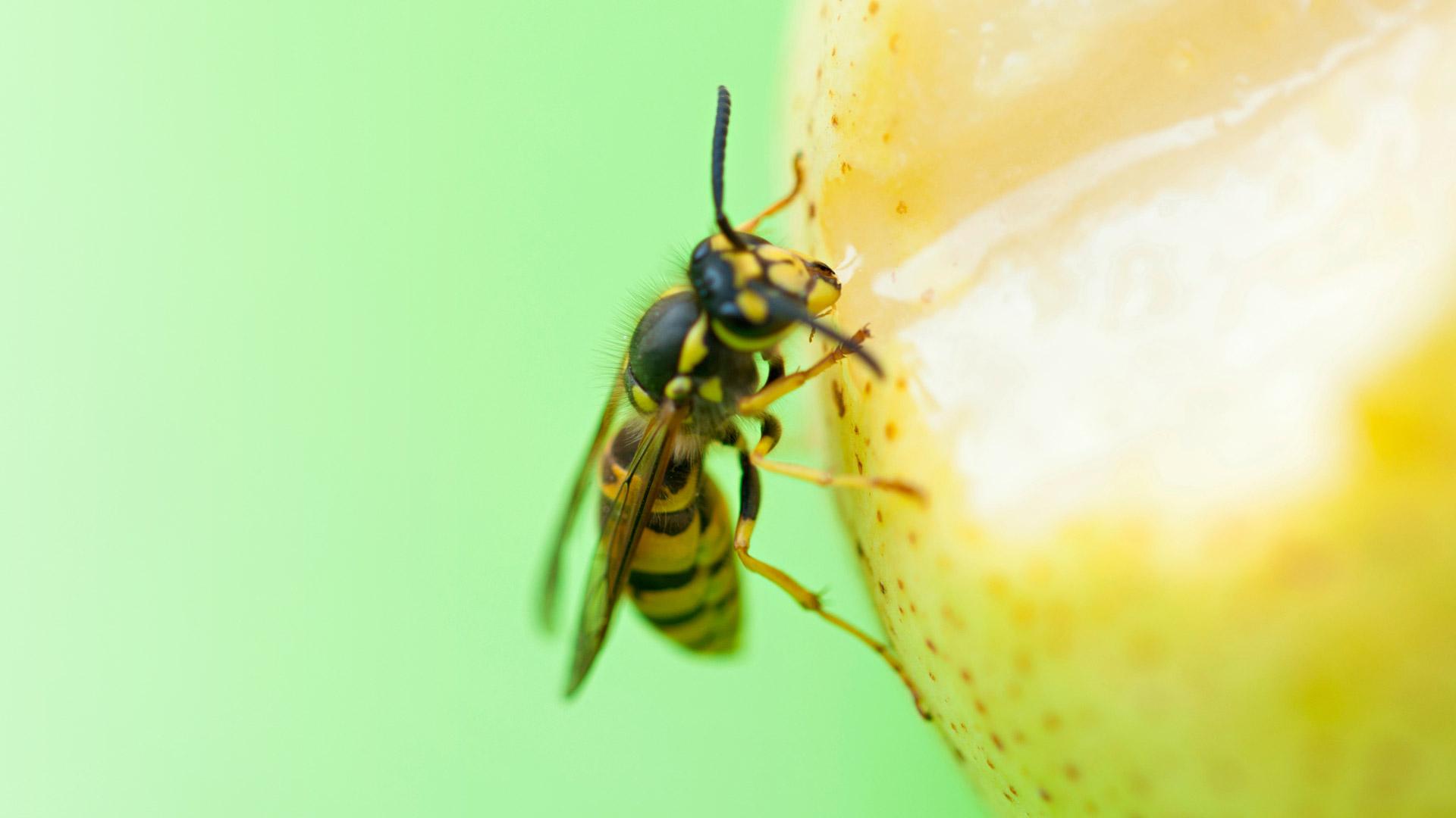 Allerginen reaktio ampiaisen pistolle kehittyy noin 15–20 minuutissa.