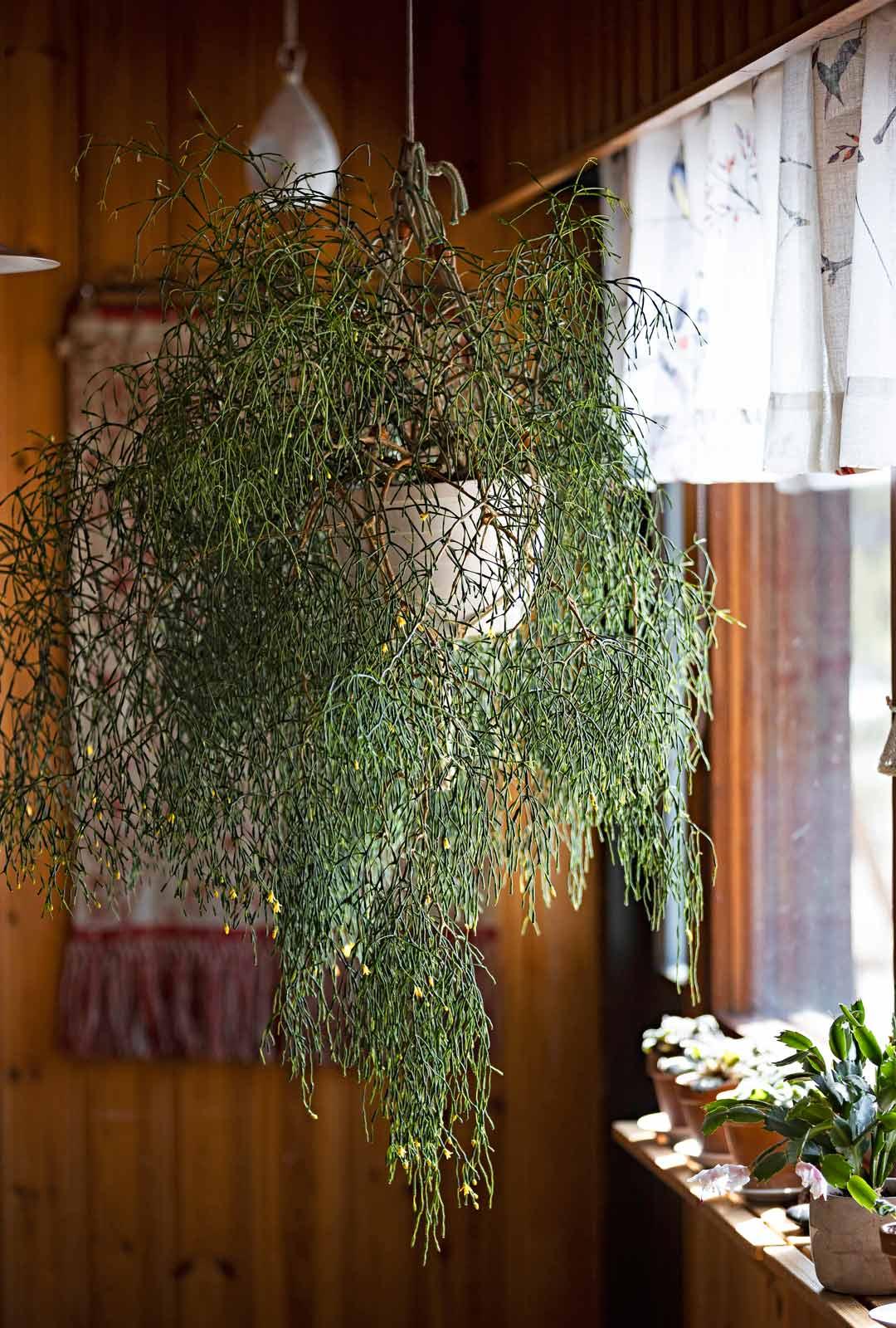 Tulitikkukaktus on koko ajan vihreä, ja sitten yhtäkkiä nuput tulevat ja se alkaa kukkia.