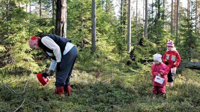 Ilpo Kojolan mielestä marjoja ei kannata jättää metsään ainakaan karhujen takia.