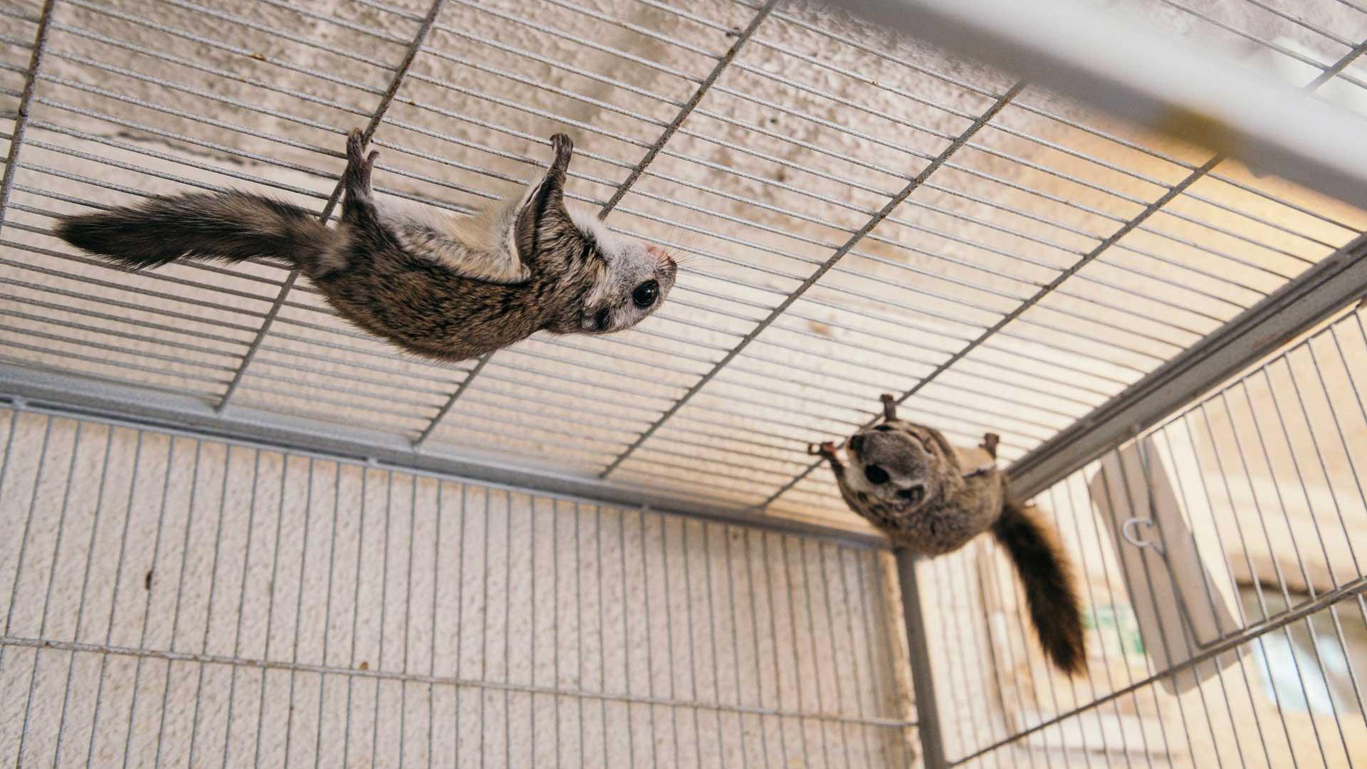 Pian vapautettavat liito-oravat kiipeilevät ketterästi häkkinsä katossa.