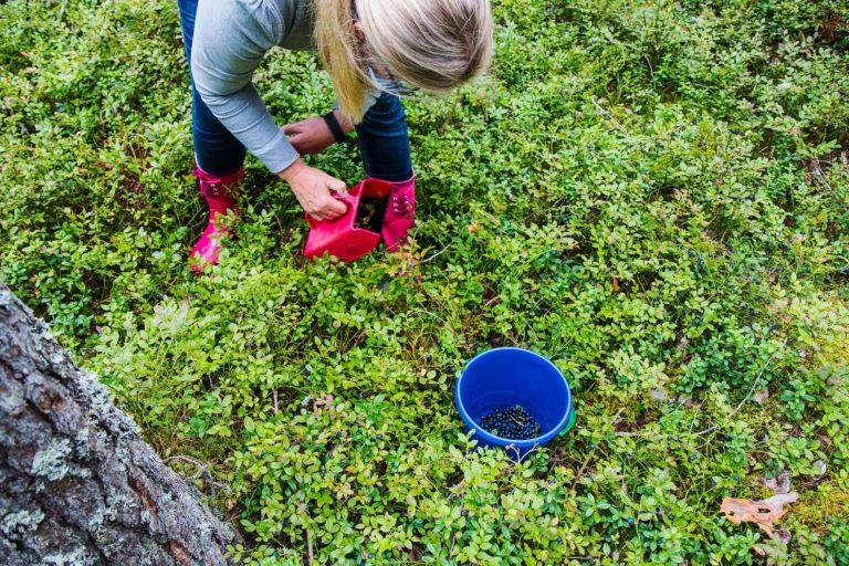 Kyselyjen perusteella useampi kuin joka toinen suomalainen poimii luonnonmarjoja vähintään omiksi tarpeiksi. Osuus on länsieurooppalaisittain korkea ja selvästi suurempi kuin esimerkiksi Ruotsissa. Kuva: Kuva: ISTOCK