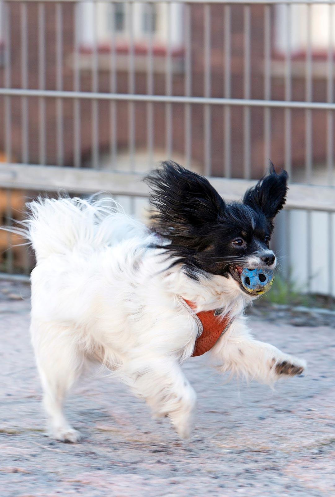 Muru-emäkin jaksaa yhä innostua palloleikeistä.
