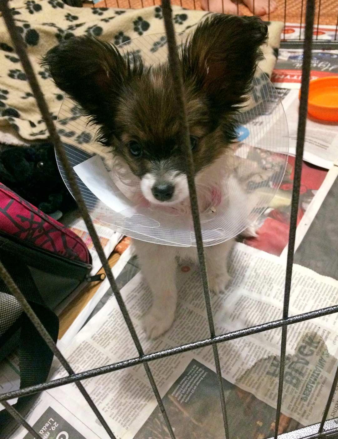 Namu joutui sydänleikkauksen jälkeen olemaan päiviä eristyksissä muilta koirilta, jotta haava paranisi rauhassa.