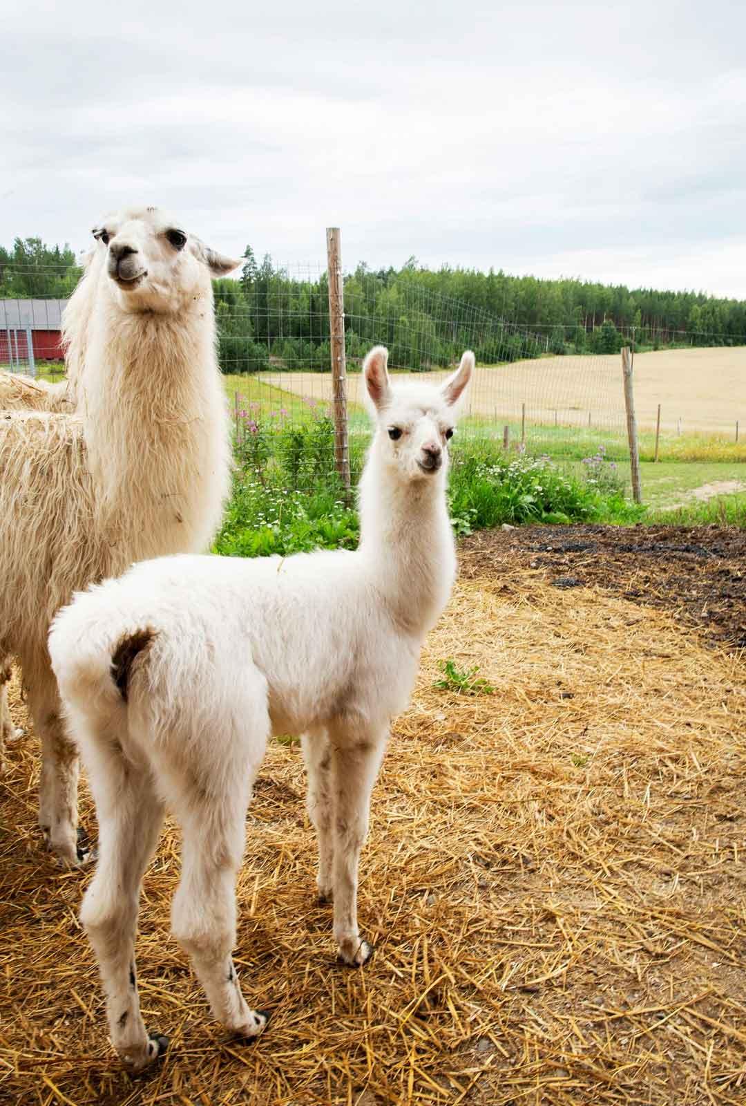Kesällä Hutkoon syntyi yllätysvauva, kun eläinsuojelun kautta tilalle päätynyt Felicia-laama synnytti terveen tyttövasan.