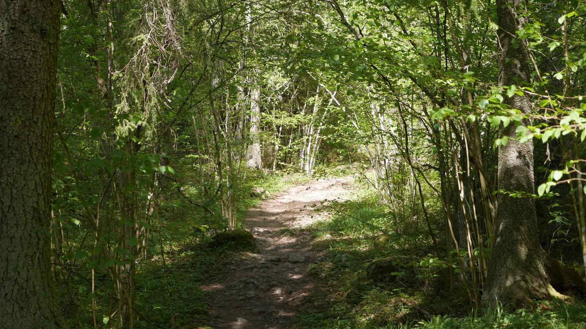 Sibeliuksen metsä kutsuu – polku johdattaa oksaholvin alta.