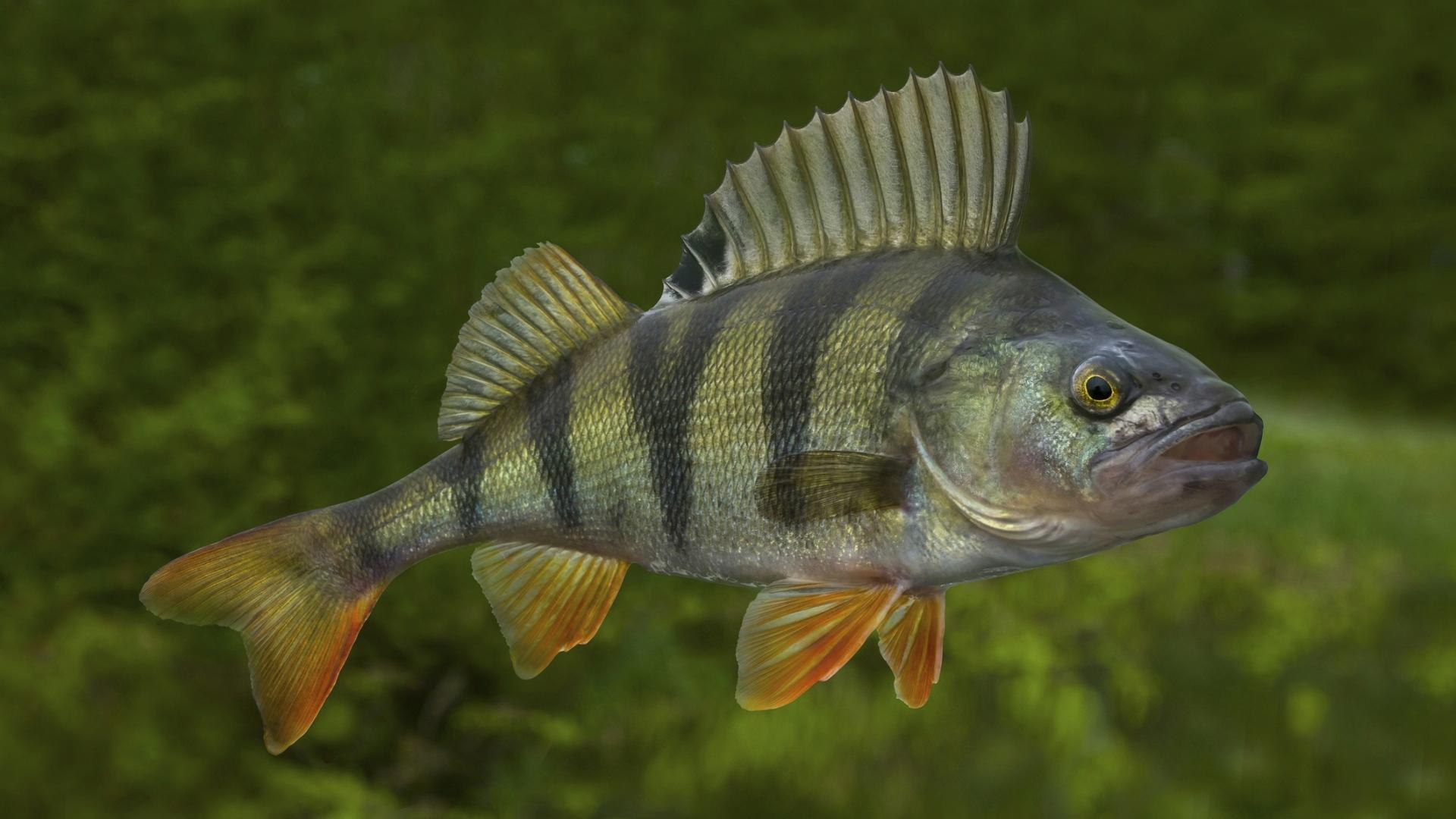 Ahvenista kannattaa nostaa vain fileekokoiset, yli 400 grammaiset, ahvenet. Muut voi jättää järveen polskimaan. Monet kalamuistot koskivat ahvenen narraamista.