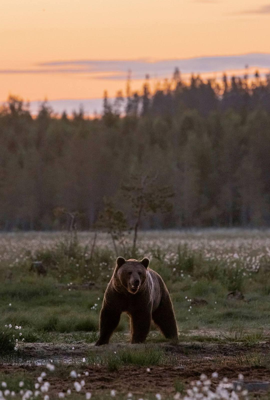 Kun karhu on syönyt itsensä kylläiseksi, se katoaa metsän siimekseen, pois saapuvan myrskyn alta.