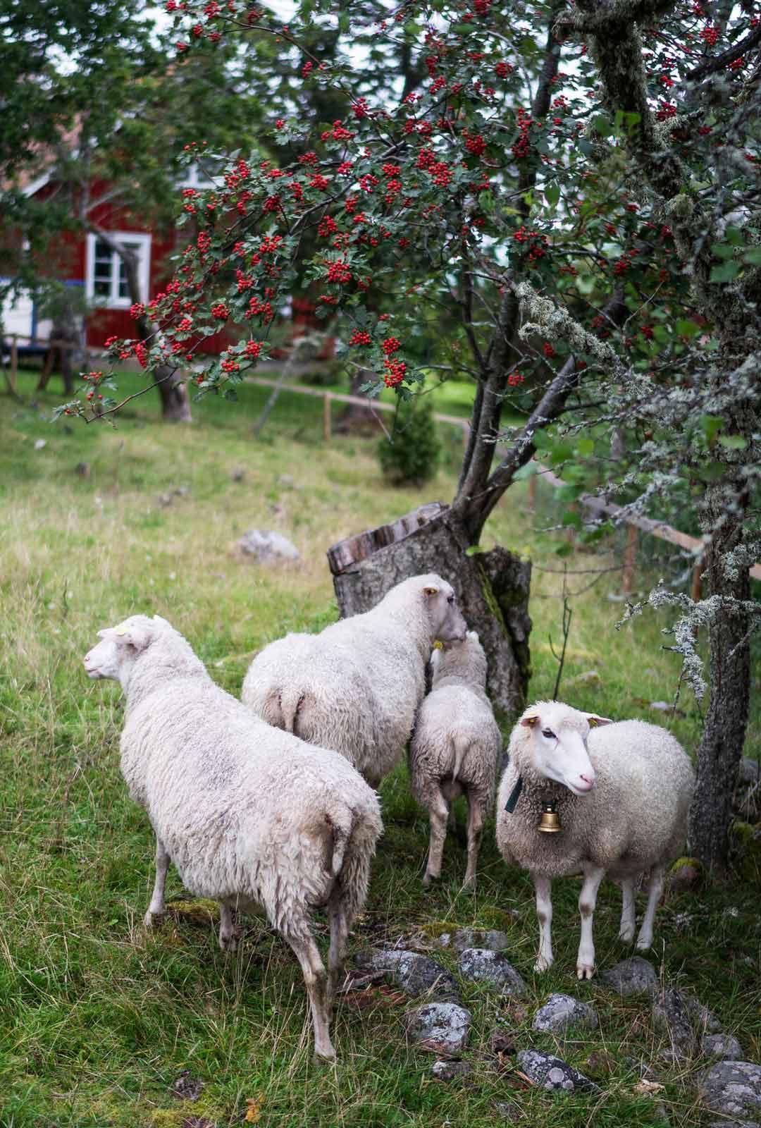 Silkinpehmeää villaa ja herkkuja lautaselle. Lammas on Ahvenanmaalla tärkeä kotieläin.