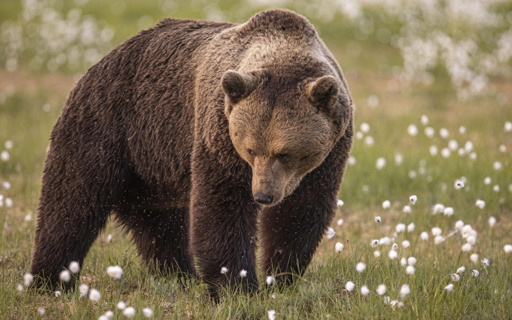Luontokuvaus palkitsee karhujen mailla