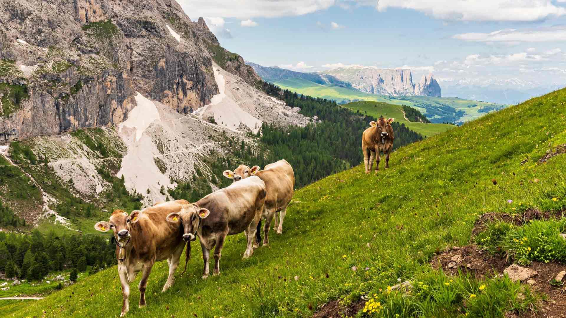 Dolomiiteilla tavallisia vastaantulijoita ovat vuohet ja lehmät.
