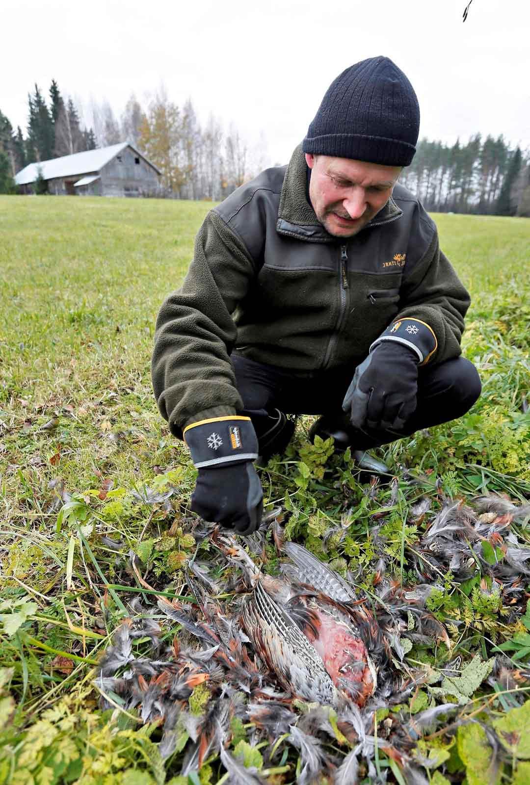 Fasaanitarhuri Rauno Mikkoselle kanahaukat ovat jokasyksyisiä vieraita.