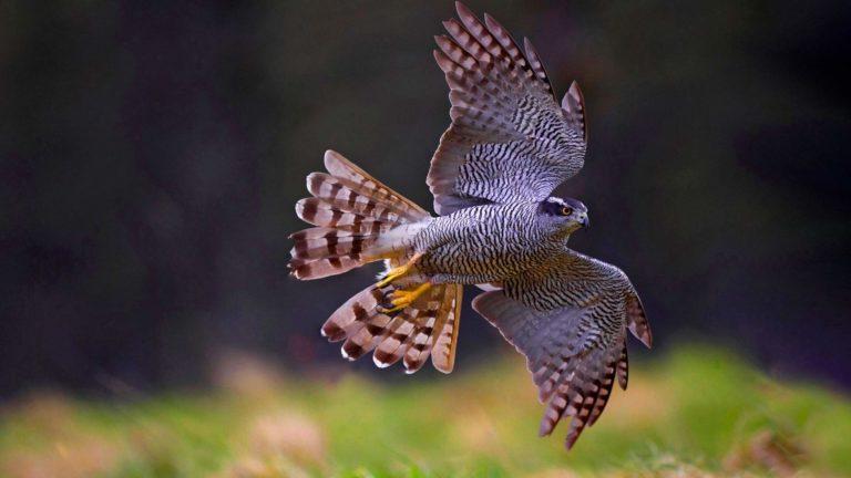 Kun kanahaukka iskee koukkukyntensä kiinni saaliiseen, on kyse suurista voimista ja nopeuksista.