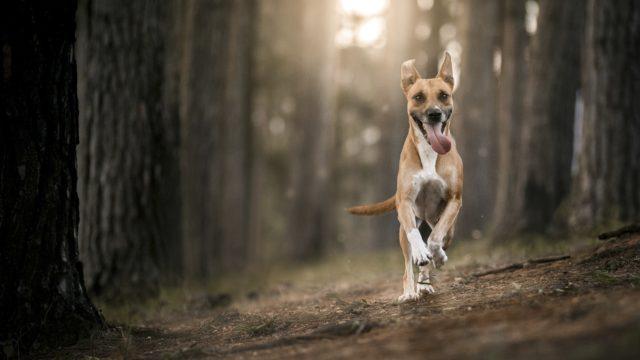 Koirien atopia on kiusallinen vaiva, jossa ympäristön allergeenit ärsyttävät koiran ihoa ja saavat aikaan tulehdusoireita.