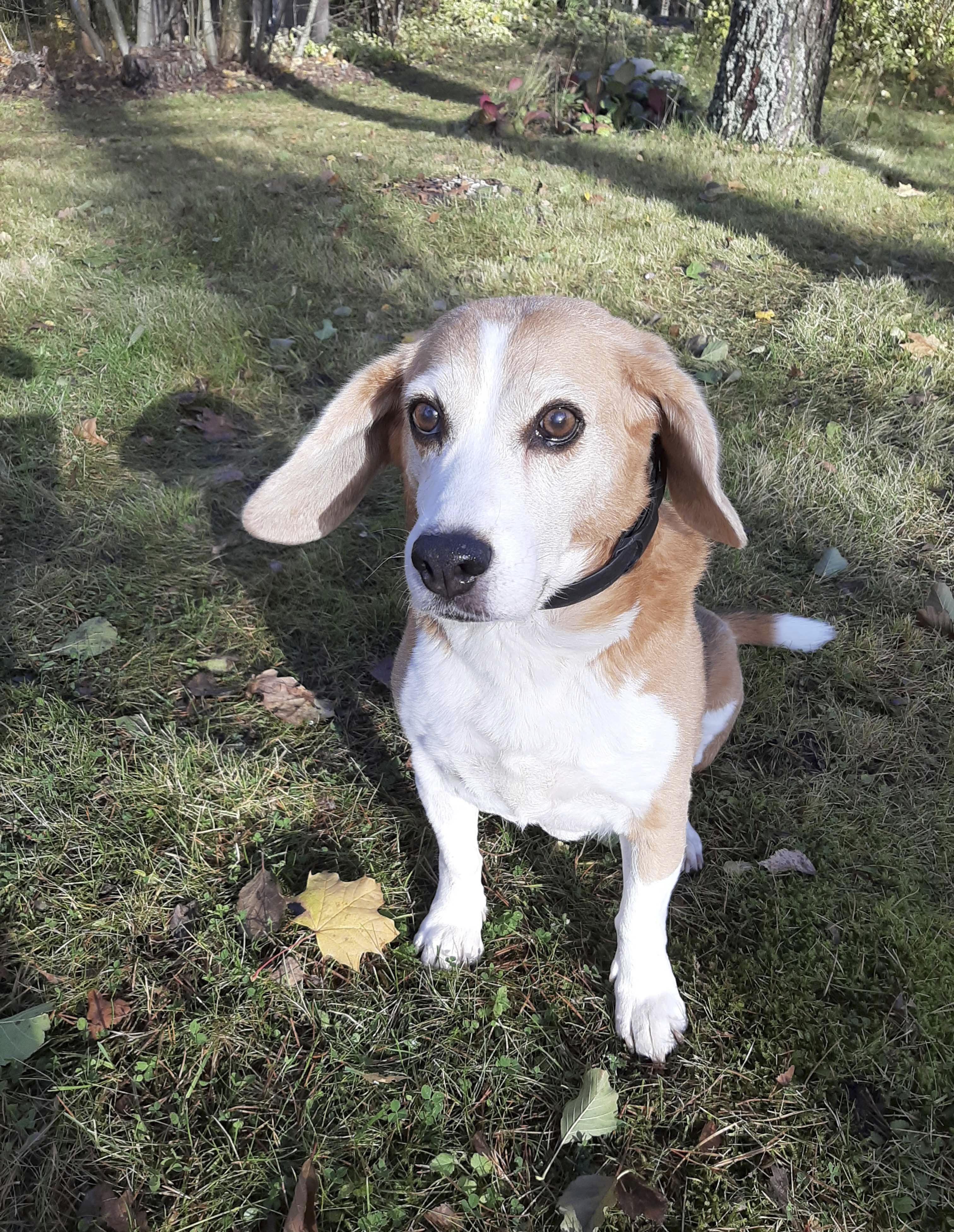 Jutta beagle asuu Marin kanssa Sipoossa ja viettää parhaillaan aikaa perheen kesäasunnolla Punkaharjulla.