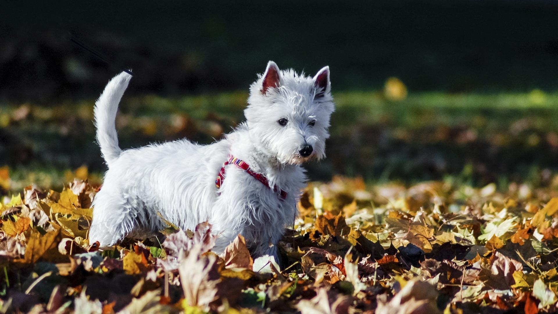 Koirien atopia voi reagoida vuodenaikojen vaihteluun: syksyn ja kevään kosteat kelit tai siitepölykausi voivat saada atooppisen koiran oireet pahenemaan.
