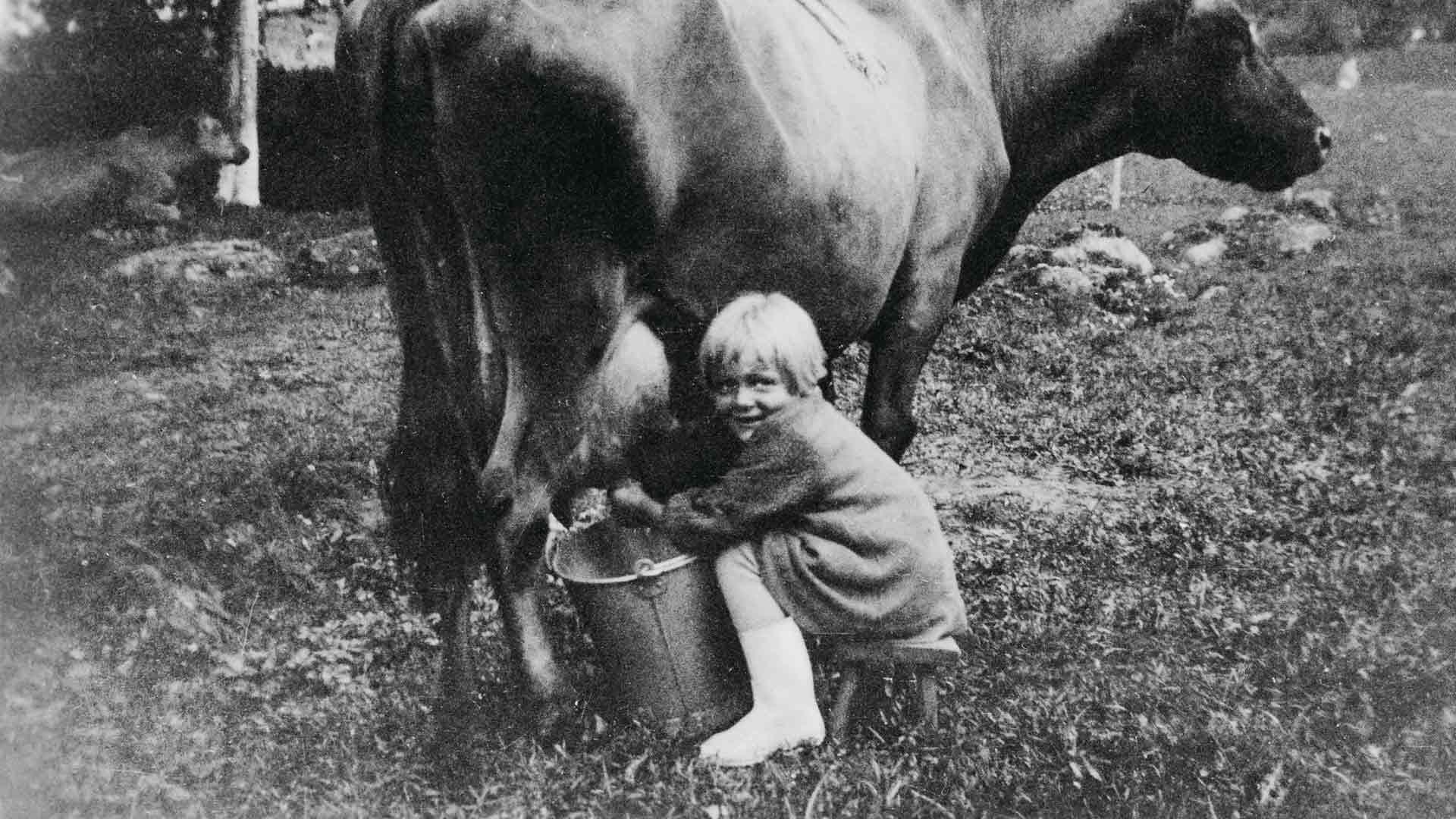 Pieni tyttö lypsää lehmää, 'Samelan siitoskeskuskarjan lehmä Onnen-Apila seisoo rauhallisena ja tyytyväisenä kun 5-vuotias siirtolaistyttö Pirkko Storhammar sitä lypsää.'
