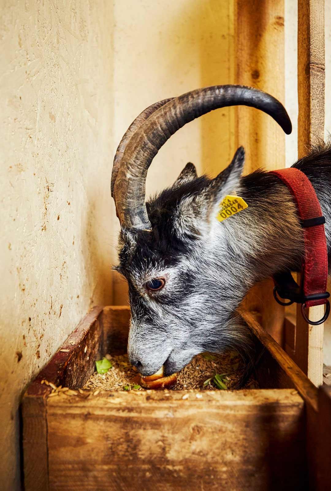 Oikeat vuohet, lampaat ja kanat ovat monen lapsen kohokohta tapahtumassa. Eläimet asuvat Pihlavassa ympäri vuoden.